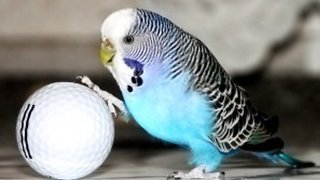 My Budgie is a Footballer | Playing Football with Her First ever EGG  - Video