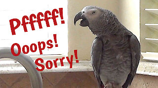 Listen to this parrot makes flatulence sounds and apologize afterwards