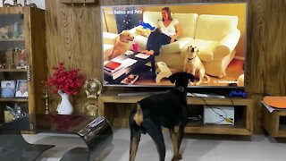 Doberman reacting to dogs howling on TV