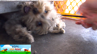 Tiny Yorkie almost gets crushed by propane tanks! NEW Hope For Paws rescue video! - Video