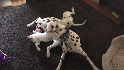 Dalmatians welcome new puppy into home