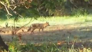 Coyote sightings in neighborhoods in Bixby, Bristow Oklahoma - Video