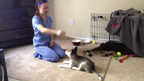 Husky puppy quickly learns awesome new trick