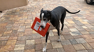 Helpful Great Dane Brings in the Shutterfly Mail  - Video
