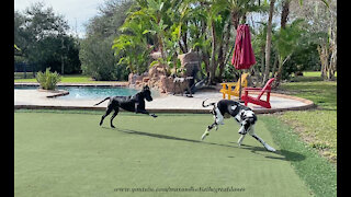 Funny Great Danes Play With Tennis Balls On Their Golf Putting Green