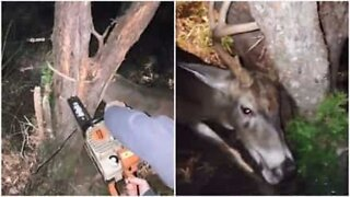 Man uses chainsaw to free a deer stuck in a tree
