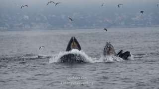 Humpback Whales Lunge Feed in Monterey Bay, California - Video