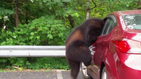 Brown Bear Caught Stealing Food From Red Car