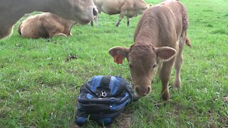 Curious newborn calf examines a backpack in the meadow