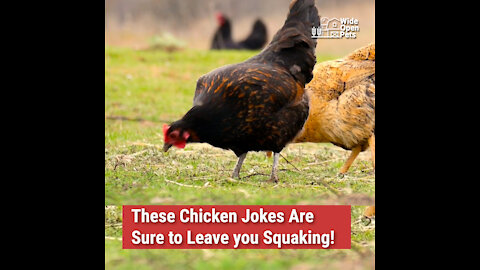 These Chicken Jokes Are Sure to Leave You Squaking!