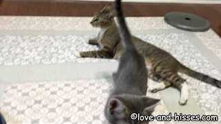 Energetic cat Shows Her Kittens How to Play - Video