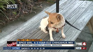 Pet of the week: Spice Girl, a 3-year old Chihuahua mix