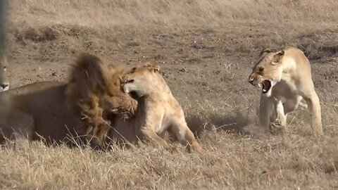 Aggressive Alpha Lion Brutally Attacks Spine Of Rival Causing The Defeated Lion To Lose The Use Of His Legs