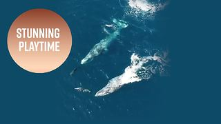 Gray whale surfing: California dolphins caught on film - Video