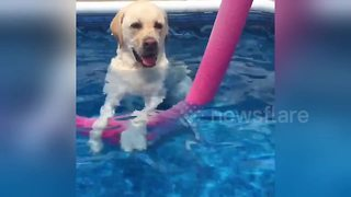 Chilled labrador enjoys standing up in the pool