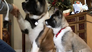 Stubborn puppy refuses to sit for treats - Video