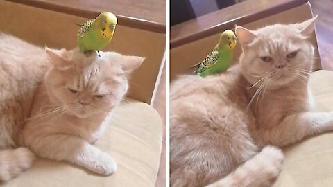 Parrot's best friend is a sweet and gentle cat