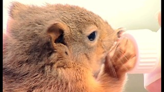 Baby Squirrels Rescued After Hurricane Destroys Their Nest - Video
