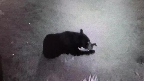 Surveillance video: Bear in Cape Coral's Sandoval community