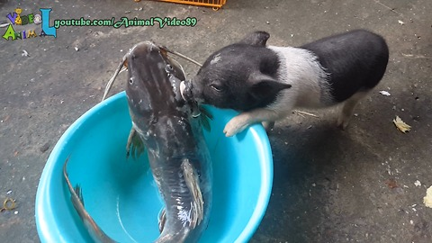Piglet try eat a big fish