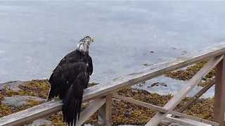 Eagle Goes for a Swim in Belcarra Bay - Video