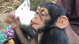 Rescued chimps play at sanctuary in Liberia - Video