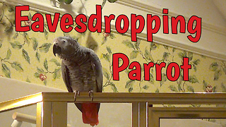 Nosy Parrot Eavesdrops On Owner's Phone Call - Video