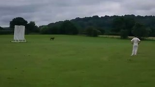 'Udderly' Mad Moment Cow Charges Through Village Cricket Game in Cheshire - Video