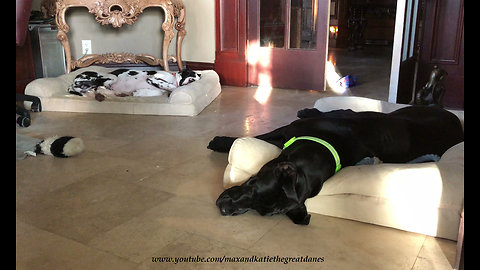 Great Dane and puppy enjoy relaxing nap time together