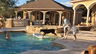 Great Danes enjoy a Pool Party with Friends