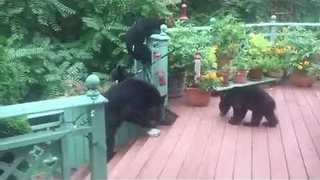 Hungry Bears Help Themselves to Garden Bird Feeder