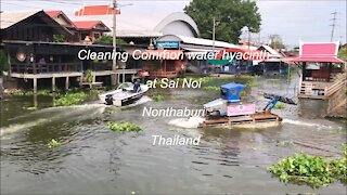 Cleaning Common water hyacinth at Sai Noi in Nonthaburi, Thailand