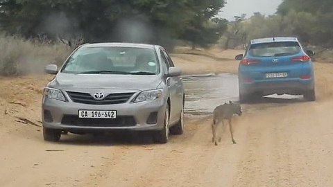 Baby Wildebeest Chased This Couple's Car, Thinking It Was Its Mom