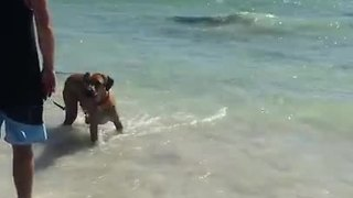 Brave dog frolics with shallow-swimming sharks - Video