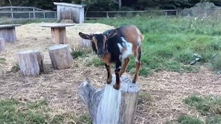 Kids Sing Song Dedicated to Creamery Goats - Video