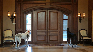 Great Dane Watch Dogs Guard Front Door  - Video