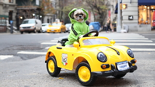 Pampered Pooch Drives Porsche Around New York: CUTE AS FLUFF - Video