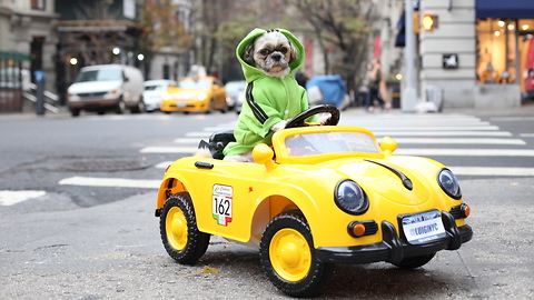 Pampered Pooch Drives Porsche Around New York: CUTE AS FLUFF