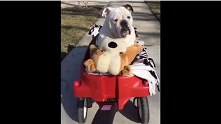 Bulldog rides in wagon with his best friends - Video