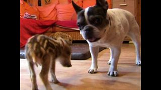 Bulldog Adopts Wild Baby Boars - Video