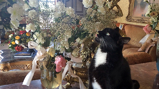 Funny Tuxedo Cat Rearranges and Steals Flowers - Video