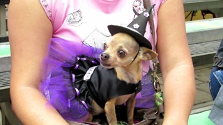 Cute and funny Chihuahua dressed in witch  - Video