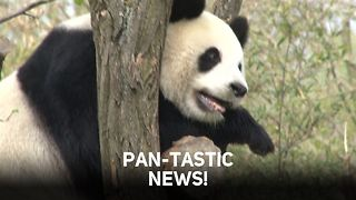 Pandas heading out of the en-dangered zone - Video