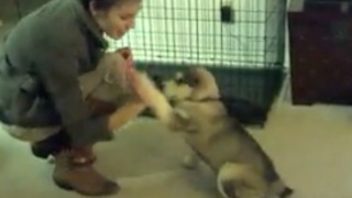Obedient puppy learns how to give high five and other tricks  - Video