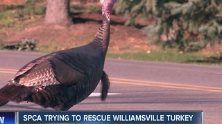 The Paradise-Klein turkey can be seen limping through Williamsville roads