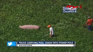 Driver injured, several pigs escape truck after crash near Watertown - Video