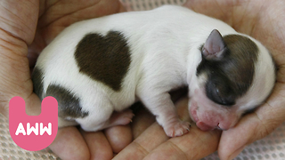 Cute Puppies with Heart-Shaped Markings - Video