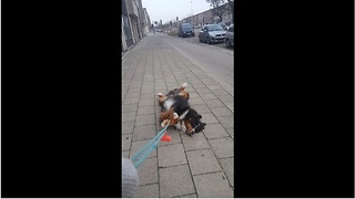 Stubborn dog completely gives up on walk - Video