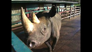 Black Rhino Celebrates 40th Birthday - Video