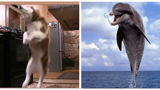 Siberian Husky loves to jump back like a dolphin